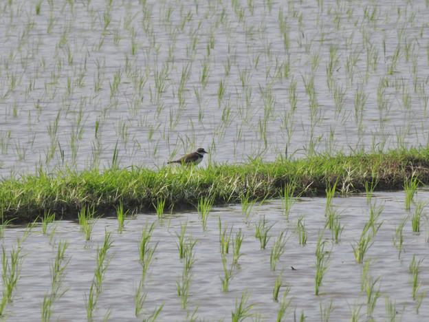 田んぼで餌を探していたコチドリ - 1