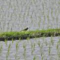 Photos: 田んぼで餌を探していたコチドリ - 1