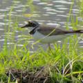 Photos: 田んぼで餌を探していたコチドリ - 3