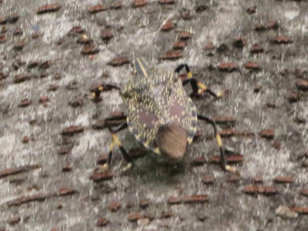 木の上にいたキマダラカメムシ - 1