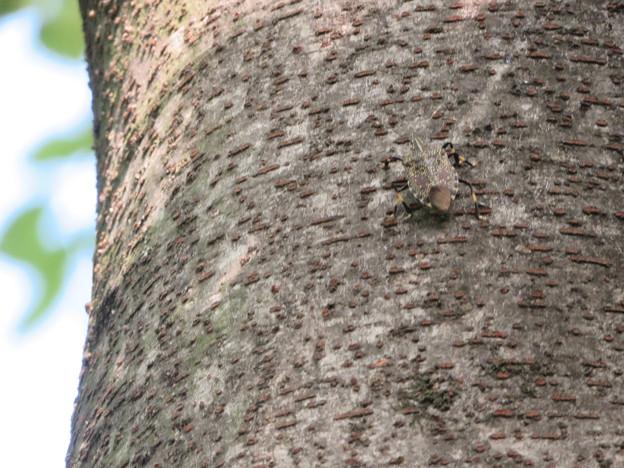 木の上にいたキマダラカメムシ - 2