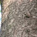 Photos: 木の上にいたキマダラカメムシ - 2