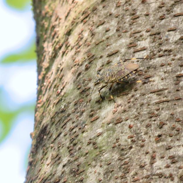 木の上にいたキマダラカメムシ - 3