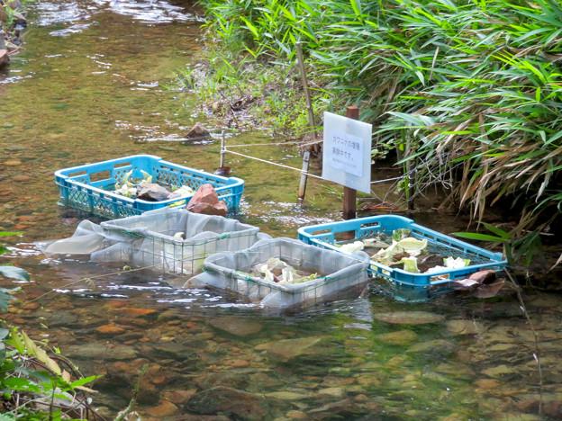大谷川上流 - 4:カワニナの増殖実験