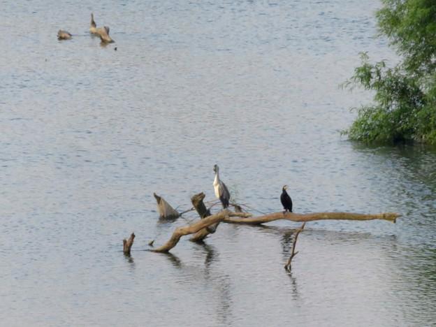庄内川に沈んだ木の上にいたアオサギとカワウ - 1