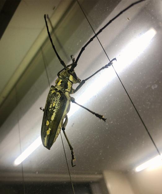 夜のコンビニにいた大きいシロスジカミキリ - 13