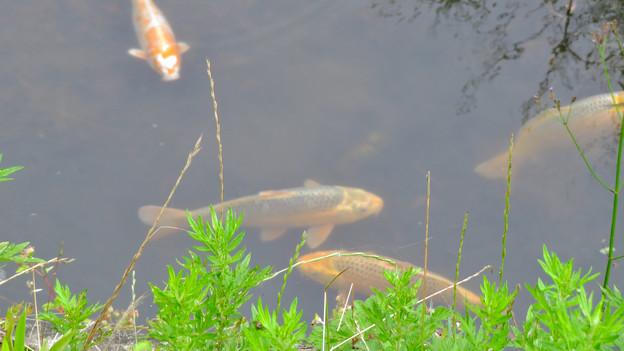 大谷川にいた錦鯉 - 2