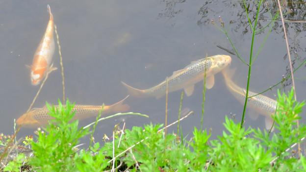 大谷川にいた錦鯉 - 3