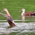 宮滝大池:カルガモのツガイ(羽ばたくカルガモ)