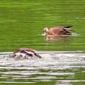 宮滝大池:カルガモのツガイ(足で顔を掻くカルガモ)