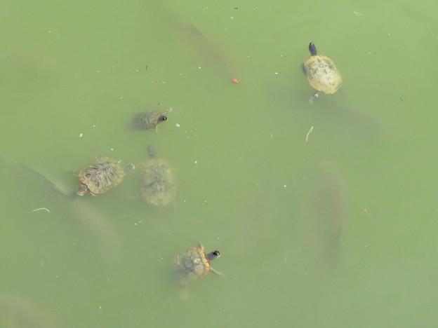 落合公園の池にいる亀