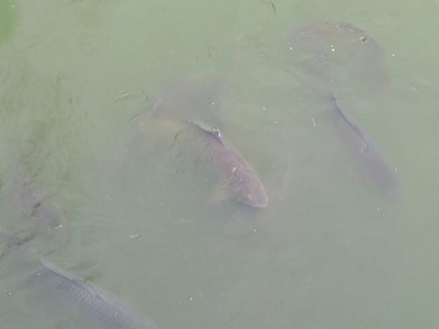 落合公園の池にいる鯉