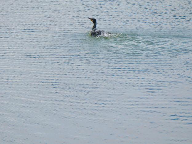 内津川を泳いでいたカワウ
