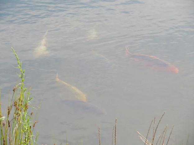 内津川にいる錦鯉 - 2