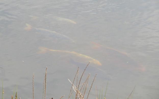 内津川にいる錦鯉 - 3