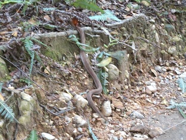 登山道にいた、クサリヘビ科の蛇(マムシ??)