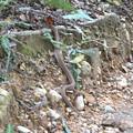 Photos: 登山道にいた、クサリヘビ科の蛇(マムシ??)