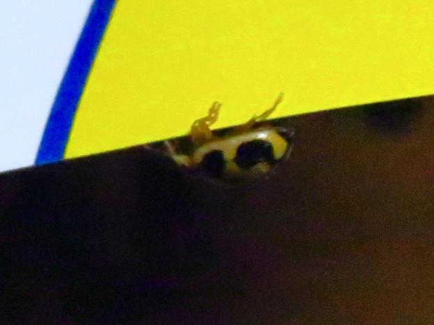 部屋にいたヒメカメノコテントウ - 2