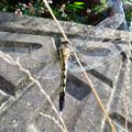 Photos: 大山川沿いにいたシオカラトンボのメス - 6