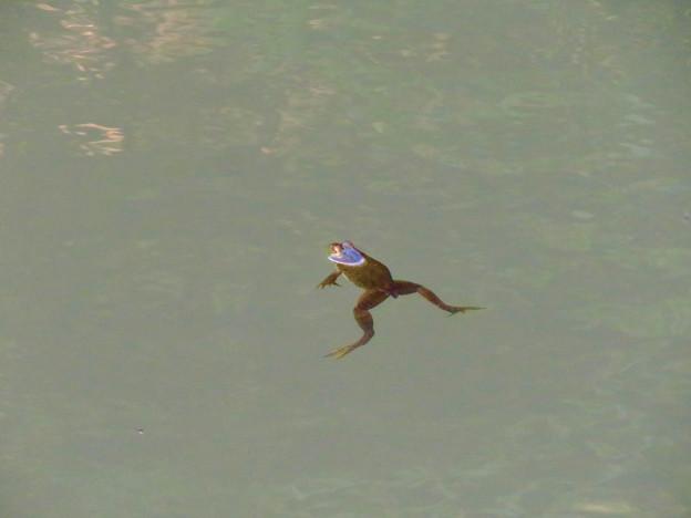 北新池にいた若いウシガエル - 1