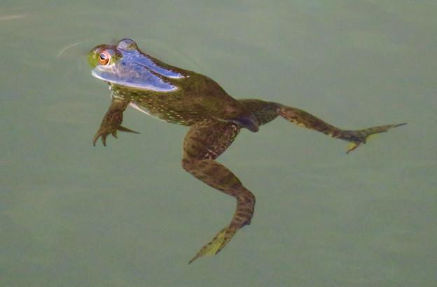 北新池にいた若いウシガエル - 2