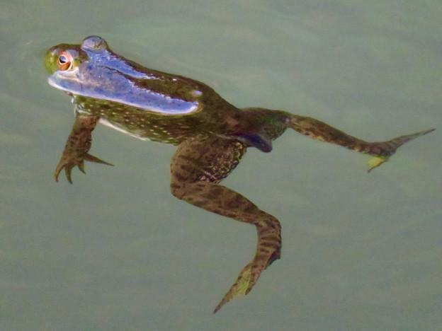 北新池にいた若いウシガエル - 3