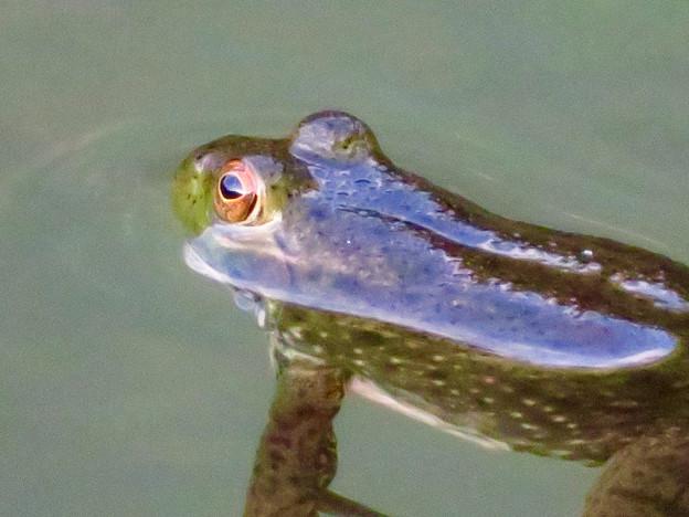 北新池にいた若いウシガエル - 6