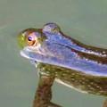 Photos: 北新池にいた若いウシガエル - 6