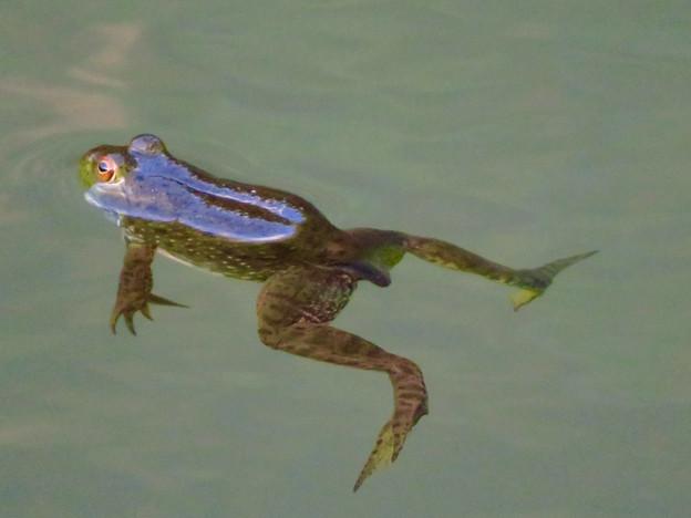 北新池にいた若いウシガエル - 7