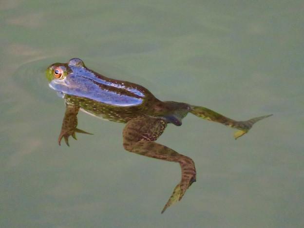 北新池にいた若いウシガエル - 8