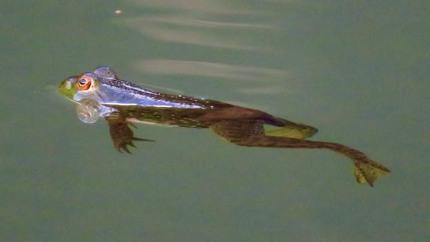 北新池にいた若いウシガエル - 9