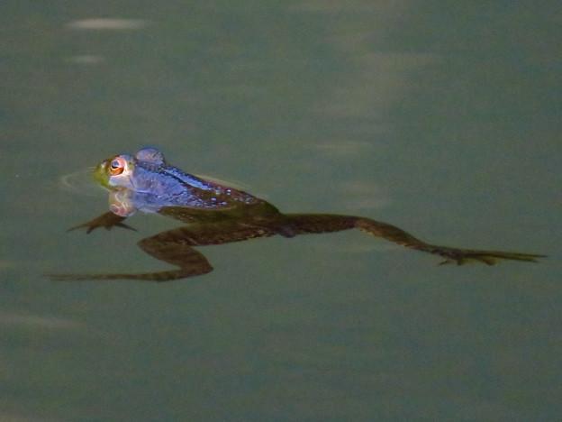 北新池にいた若いウシガエル - 10