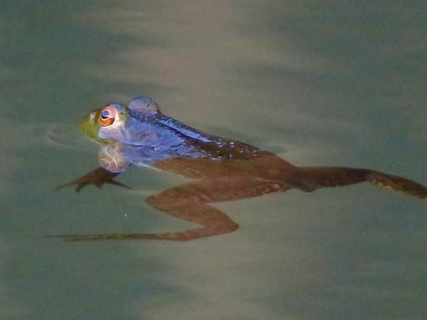 北新池にいた若いウシガエル - 11