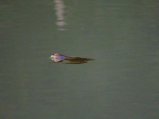 北新池にいた若いウシガエル - 12