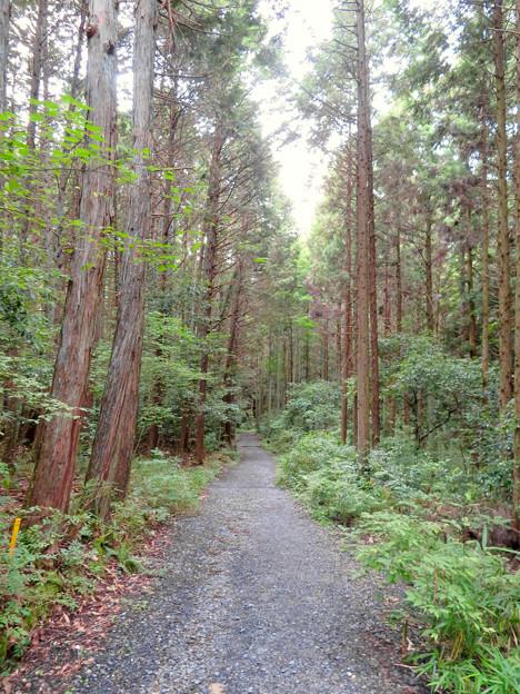 海上の森 - 84:まっすぐに伸びる高い木の間にある道