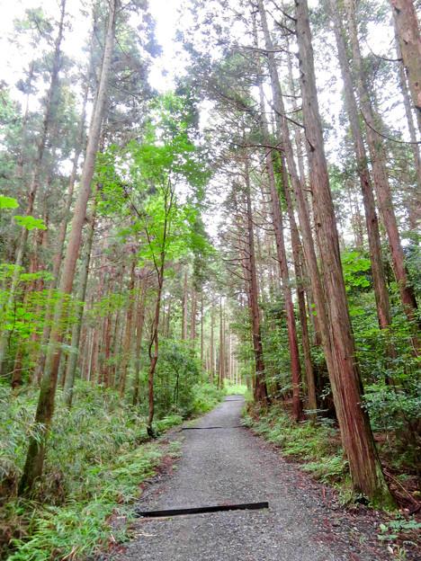 海上の森 - 85:まっすぐに伸びる高い木の間にある道
