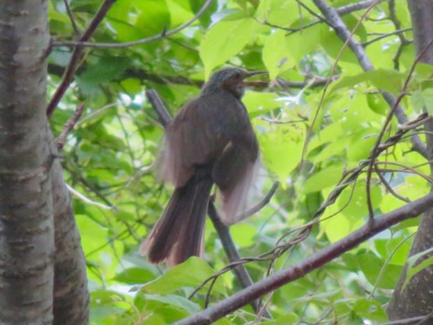 奇妙な羽ばたきをしていた弥勒山のヒヨドリ