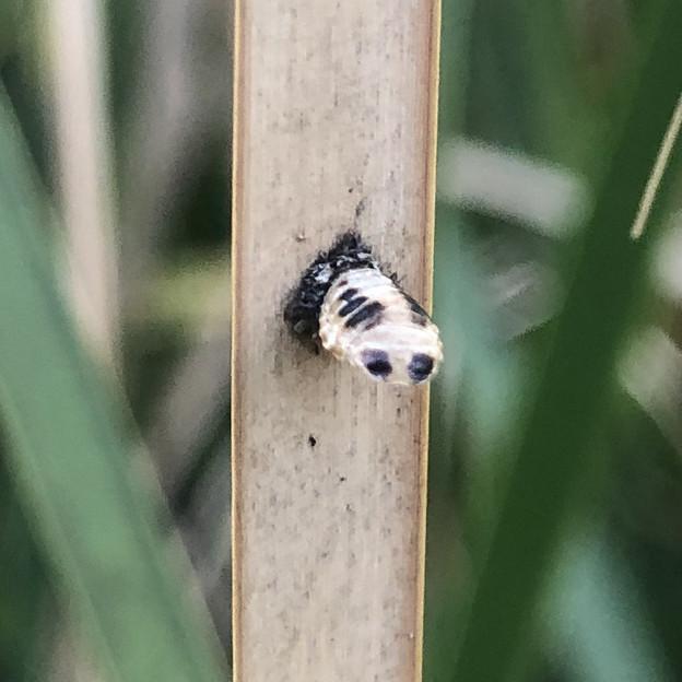 落合公園:池の草に付いてた謎の物体 - 2