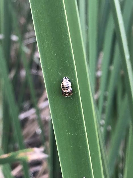 落合公園:池の草に付いてた謎の物体 - 3