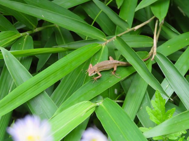 葉っぱの上にいたニホンカナヘビ - 1