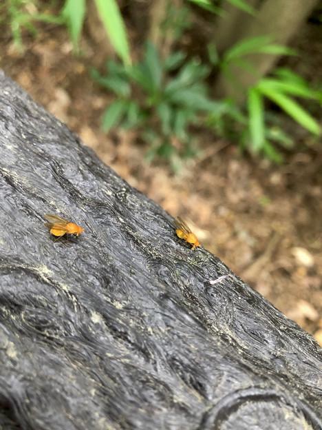 木の手すりにいたオレンジ色の小さなハエ!? - 2