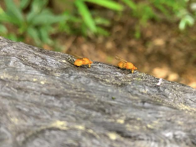 木の手すりにいたオレンジ色の小さなハエ!? - 6