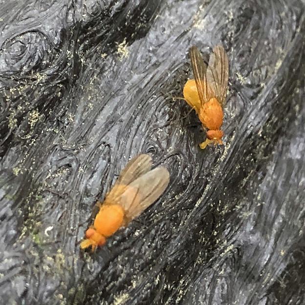 木の手すりにいたオレンジ色の小さなハエ!? - 9