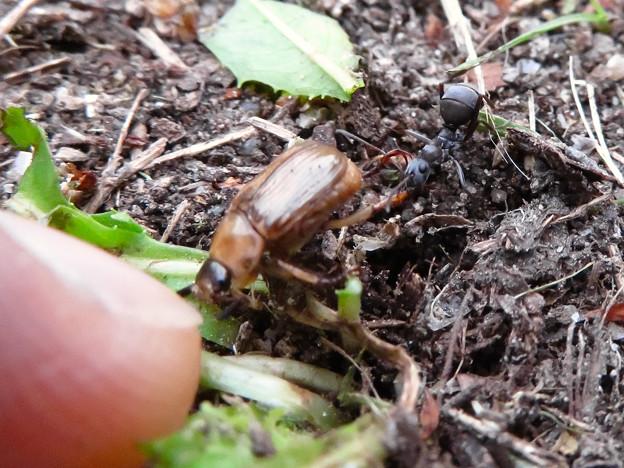 アリに襲われてるセマダラコガネ - 3