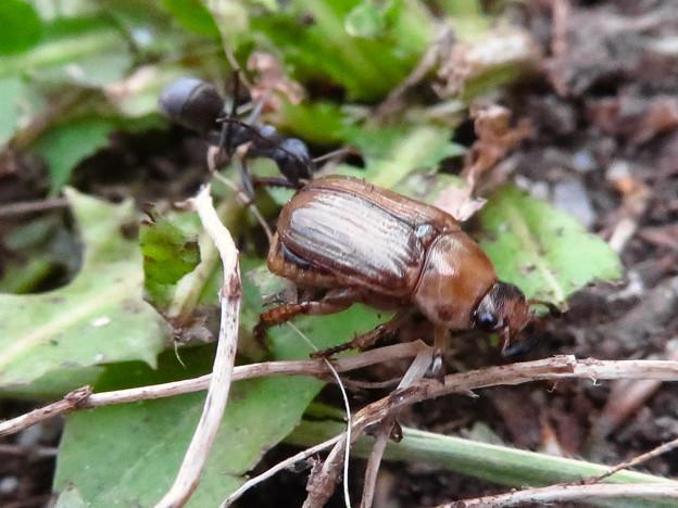 アリに襲われてるセマダラコガネ - 4