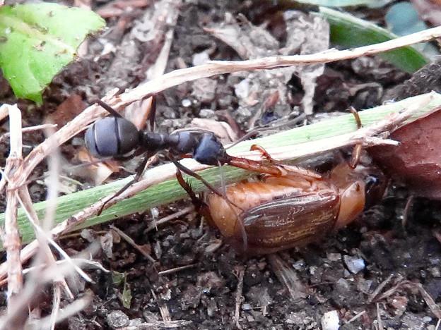 アリに襲われてるセマダラコガネ - 6