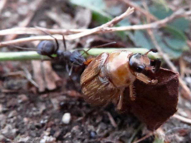 Photos: アリに襲われてるセマダラコガネ - 8
