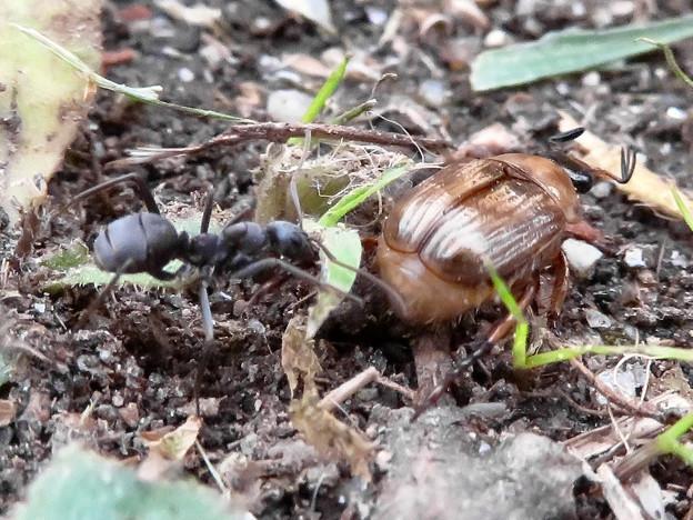 Photos: アリに襲われてるセマダラコガネ - 9