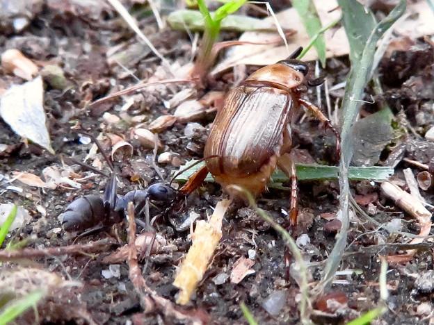 アリに襲われてるセマダラコガネ - 10