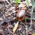 Photos: アリに襲われてるセマダラコガネ - 10
